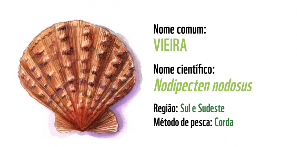 Tipos de frutos do mar: Vieira, opção sustentável