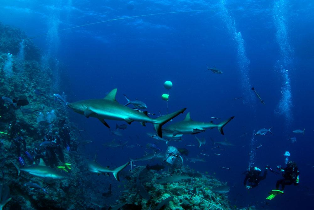 Mergulho com tubarões de recife, sem perigo, na Grande Barreira de Corais da Austrália