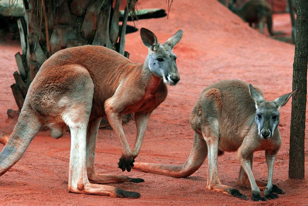 Cangurus em um parque em Sidney, Austrália