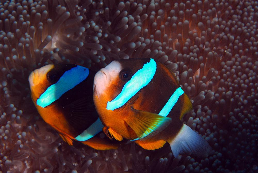 Peixes palhaço na anêmona, durante mergulho na Grande Barreira de Corais na Austrália