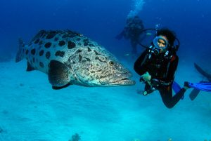 Mergulho com o potato cod (primo do Badejo), na Grande Barreira de Corais da Austrália