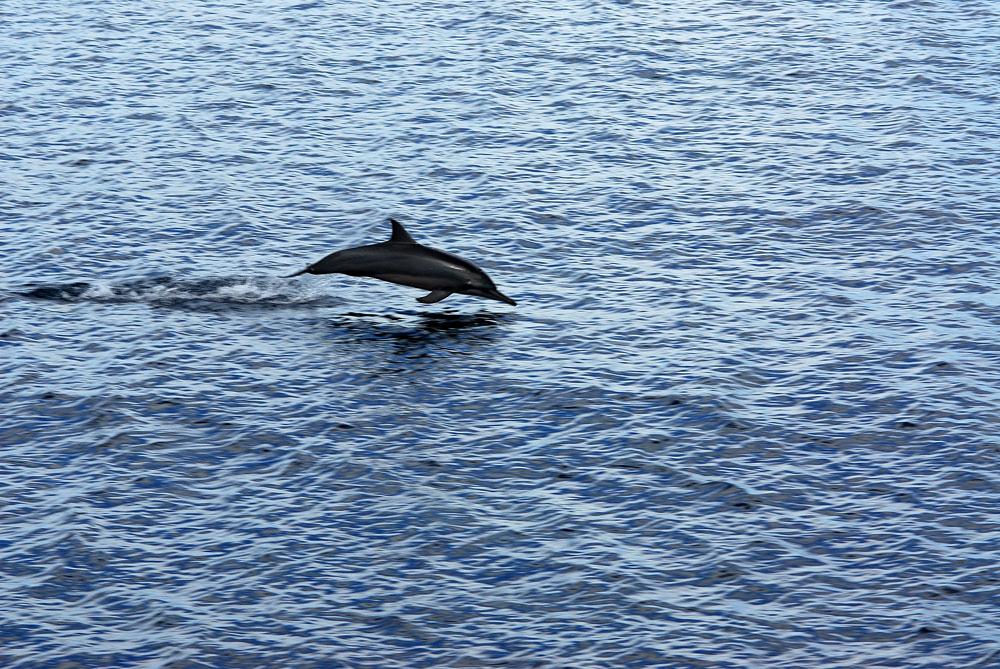 Golfinho selvagem nas Ilhas Salomão, Pacífico