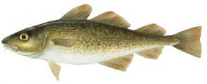 Bacalhau ou cod